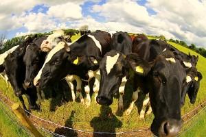Curious cows!