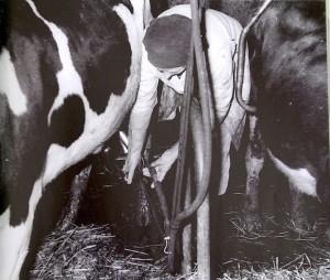 Helen milking